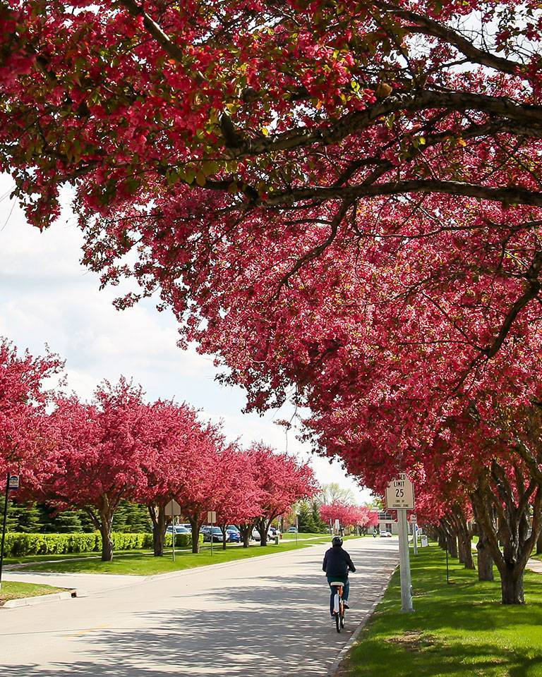 flowering trees over bicyclist